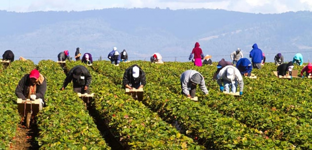 Photo of farm workers in a field picking crops